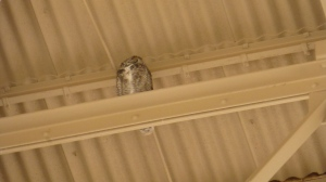 A resident owl keeps watch!