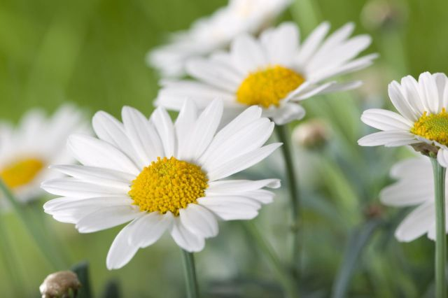 1280-161725811-field-of-daisy-flowers